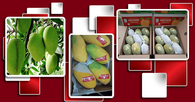 Premium Quality Pakistan Mango Exporters and Suppliers